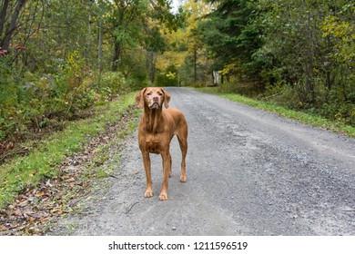 An older vizsla dog (hungarian pointer) stands on a dirt road in autumn.