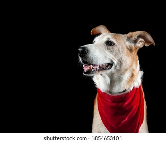 Older yeallow dog wearing holiday Christmas scarf isolated on black looking to side with copy space.
