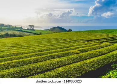 The oldest, and currently only tea plantation in Europe on the island of S. Miguel (Azores). They produce teas of excellent quality excellent by processing the leaves on vintage 19th century English.