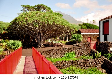 Oldest dragon tree on Pico island of Azores, with Pico volcano in the background, Azores, Portugal