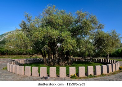 Oldest olive tree in Montenegro