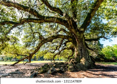 Oldest southern live oak in New Orleans Audubon park on sunny day with hanging spanish moss in Garden District and closeup of thick Tree of Life trunk