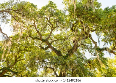 Oldest southern live oak in New Orleans Audubon park with hanging spanish moss in Garden District Tree of Life looking up low angle
