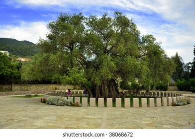 The oldest tree in Europe - Old Olive tree, Bar Montenegro