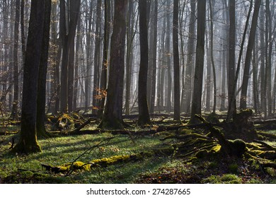 Old-growth beech forest, Swabian Jura,Germany