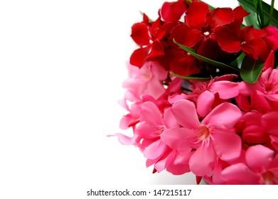 Oleander bloom 2