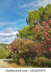 Oleander bushes and pine trees in Strunjan, Slovenia
