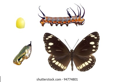 Oleander or Common Crow butterfly,  wingspan 72mm, lifecycle stages isolated on white