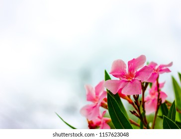 Oleander flower with copy space great for background.