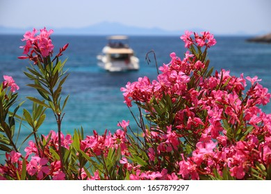 Oleander flowers in Croatia. Pupnatska Luka beach in Korcula island.