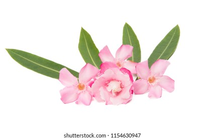 oleander flowers isolated on white background