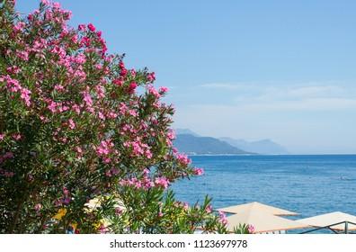 Oleander  flowers on the Mediterranean Sea in Kemer