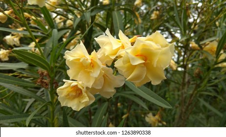 Oleander funnel-shaped double flowers bloom in clusters at the twig tips. Cluster of a double-flowered, creamy white oleander (Nerium Oleander) flowers. Dainty, soft yellow oleander flowers on a shrub