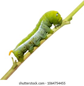 Oleander Hawk Moth Caterpillar (Daphnis nerii, Sphingidae), climb at plant, isolated on white background.