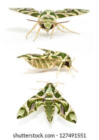 Oleander Hawk moth (Daphnis nerii) set isolated on white