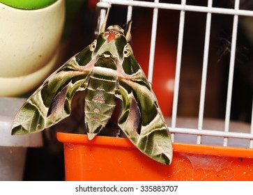 Oleander hawk moth (Daphnis nerii), large night butterfly with green army color and lines pattern under morning sunlight on an old white orange mouse cage outdoor under morning sunlight