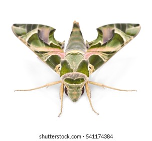 Oleander Hawk moth (Daphnis nerii) isolated on white
