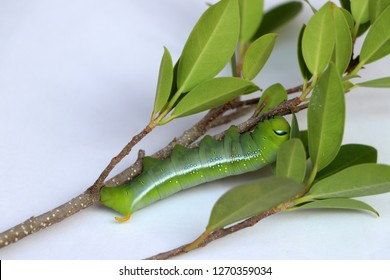 Oleander hawkmoth caterpillar  (Daphnis nerii, Sphingidae) on the branch of tree on white floor.