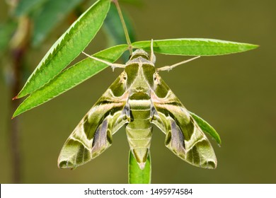 Oleander Hawk-moth - Daphnis nerii, beautiful colored moth from European forests and woodlands, Czech Republic.
