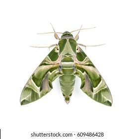 Oleander hawkmoth (Daphnis nerii) isolated on white background