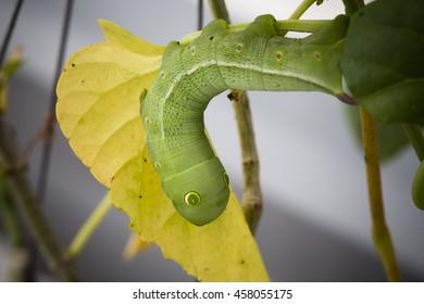 Oleander hawk-moth  (Daphnis nerii, Sphingidae) caterpillar climbing plant stem