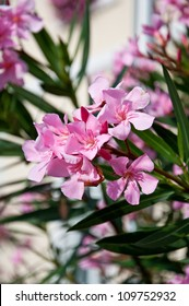 Oleander with pink flowers growing in front of white building