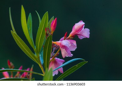 oleander rose flowers with small drops of morning dew in front of dark background