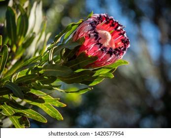 Oleander-leaf protea or narrow-leaf protea (Protea neriifolia) flower. George. Garden Route. Western Cape. South Africa