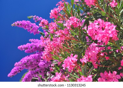 olender flowers exotic plants blossoming in vivid colors