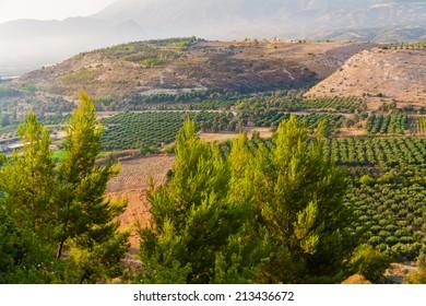 Oleve plants of Lasiti, Crete, Greece