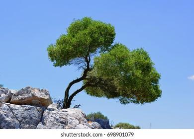 Oleve Tree on the Rock