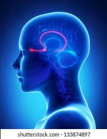 Olfactory bulb - female brain anatomy lateral view
