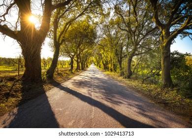 olgherese road, autumn or fall, tree straight at sunrise. Castagneto Carducci Bolgheri Maremma, Tuscany, Italy Europe.