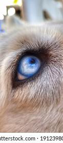 Olho de um rosk siberiano