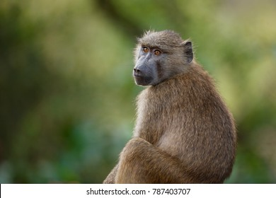 An olive baboon in Africa's Lake Manyara National Park