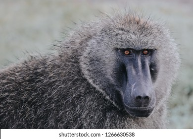 Olive baboon with baby in Massai Mara