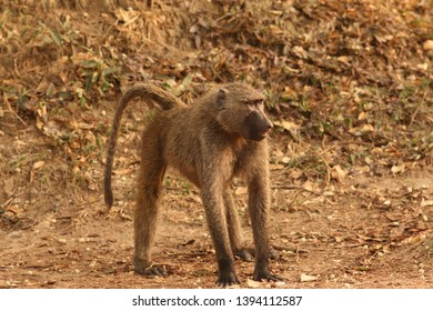 The olive baboon, also called the Anubis baboon, is a member of the family Cercopithecidae. A typical african monkey in its natural environment.