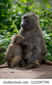 Olive baboon mother nursing baby on wall