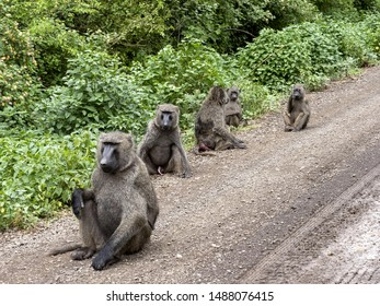 Olive baboon, Papio anubis, is abundant in some areas in Ethiopia