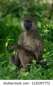 Olive baboon sits with arm on knee