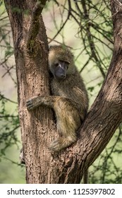 Olive baboon sits in branches of tree