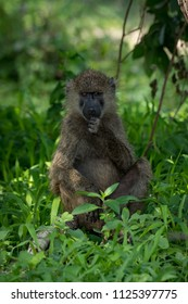 Olive baboon sits with fist to chin