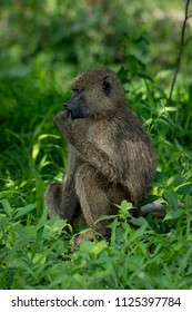 Olive baboon sits with hand to mouth