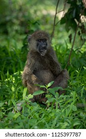 Olive baboon sits with hand on chin