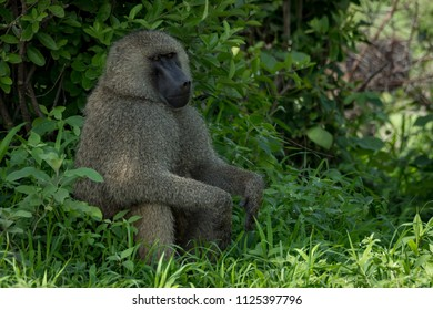 Olive baboon sits with hands on knees