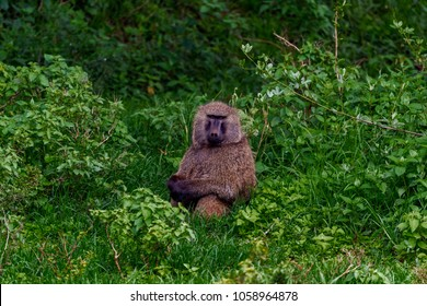 Olive Baboon sitting amongst leafy vegetation in the evergreen forest, Aberdare National Park in the highlands of Kenya. In the centre of the image, he has arms crossed and is looking straight ahead.