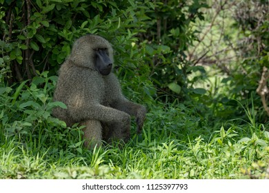 Olive baboon sitting with hands on knees