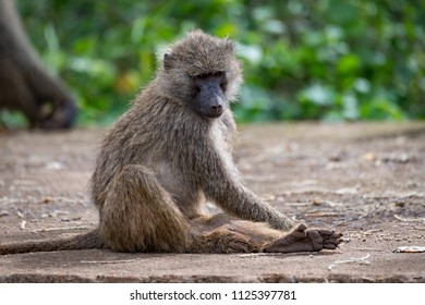 Olive baboon sitting on wall looking down