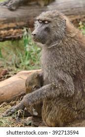 Olive baboons, Lake Nakuru National Park, Kenya