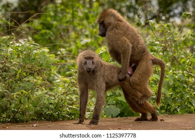 Olive baboons mating on wall by bushes